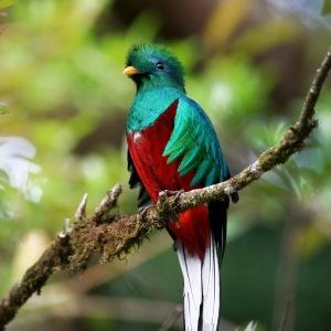 Pássaro Quetzal